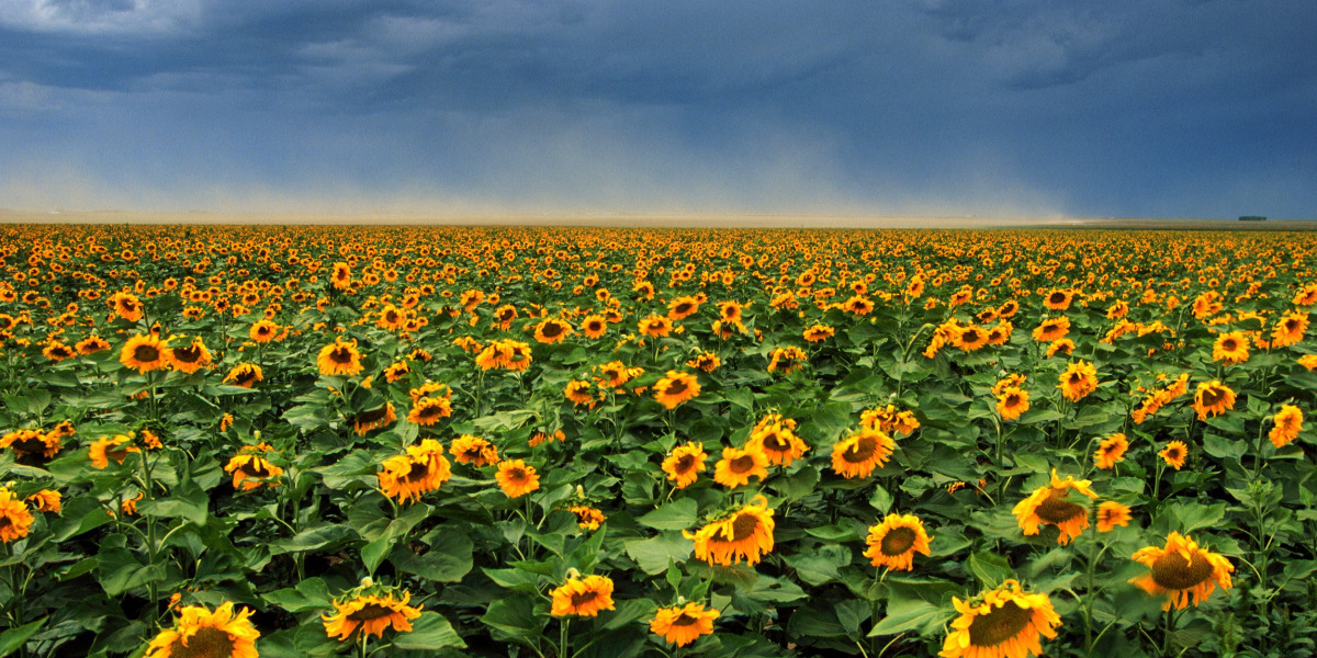 sunflowers in a field