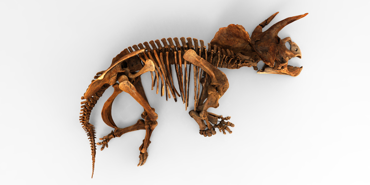 bones of a triceratops from the Smithsonian Open Access Initiative