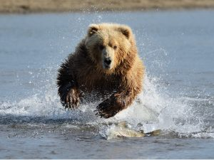 A Grizzly Bear charging through the water