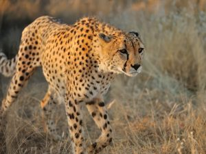 A cheetah stalks quietly in a field