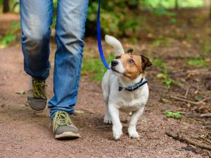 A man walks his Jack Russell Terrier on a forest path