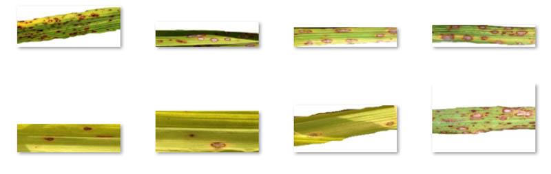 3 Bac Leaf Blight